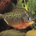 Пиранья - рыба-убийца со склонностью к вегетарианству