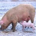 Свинья — всеядное животное