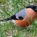 Снегирь — красивая птица с сильным клювом