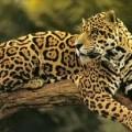 Ягуар — самая крупная кошка Америки