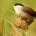 Астрильд — невзрачная птица, гроза полей