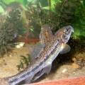 Пескарь - рыба, которая ест со дна