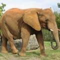 Слон — самое крупное наземное млекопитающее
