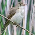 Певчие птицы - те, кого узнают по голосу