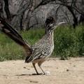 Бегунок — тонконогая птица на солнцепеке