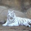 Белый тигр, но все же полосатый