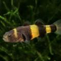 Бычок — маленькая рыбка, которая водится по всему миру