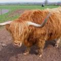 Бык — не надо брать быка за рога!