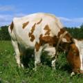 Болезни копыт у коров