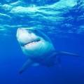 Большим белым акулам нужна ваша помощь