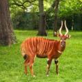 Бонго — пугливая антилопа с длинными мощными рогами