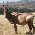 Бубал — антилопа с причудливыми рогами