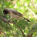 Бюльбюль — птица с песней в сердце