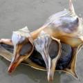 Бусикон — морская улитка с крепким панцирем
