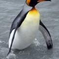 Пингвин - плавает, но не летает