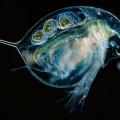 Дафния — лучший корм для аквариумных рыбок