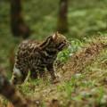 Дикая кошка — ночной родственник домашних мурлык