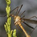 Долгоножка — безобидное насекомое с очень длинными ногами
