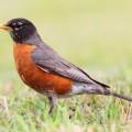 Дрозд странствующий — маленькая птичка с ярко-красной грудкой