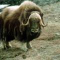 Овцубык — лохматое полурогое