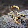 Скорпион — членистоногое с жалом на хвосте