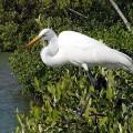 Цапля — длинноногая болотная птица