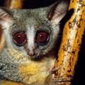 Галаго — очаровательное создание, кричащее в ночи