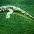 Гавиал — кровожадный подводный охотник