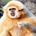Гиббон — самая подвижная и грациозная обезьяна