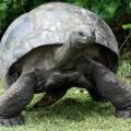 Гигантская черепаха — медлительный борец за выживание