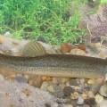 Голец — рыба с ледяного севера