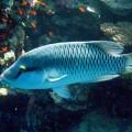 Губан — удивительная рыба, меняющая пол