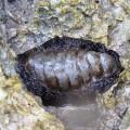 Хитоны или панцирные моллюски