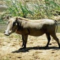 Кабан африканский