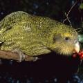 Помогите спасти попугая Капопо