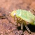 Капустная тля — самое плодовитое насекомое