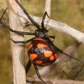 Каракурт — смертельно опасный паук