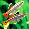 Кардинал рыбка — отец с потомством во рту