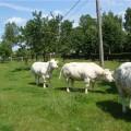 Кесарево сечение у коров
