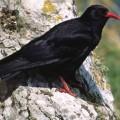 Клушица — ворона высокого полета