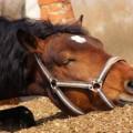 Колики у лошадей