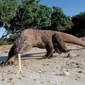 Комодский варан — самая большая ящерица на Земле