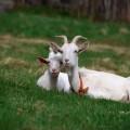 Как кормить козу