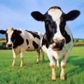 Корова — 8000 лет с человеком