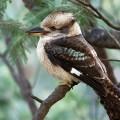 Кукабарра — смеющийся зимородок