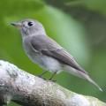 Лодкоклювая мухоловка — редкая и необычная птица
