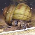 Лужанка — пресноводный моллюск