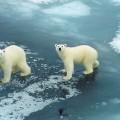 Медведь белый — арктический гигант