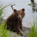 Тяжелые испытания для осиротевших медвежат