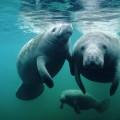 Морская корова — прообраз русалки